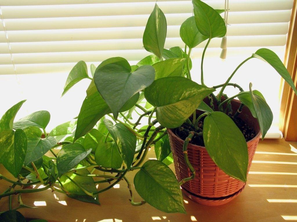 Cây phong thủy trồng trong nhà giúp gia chủ đón tài lộc, may mắn